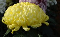 Chrysanthemum 23 Cool Hd Wallpaper