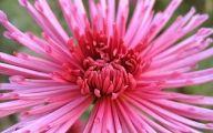 Chrysanthemum 26 Widescreen Wallpaper