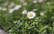 Chrysanthemum 27 Background Wallpaper