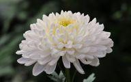 Chrysanthemum 32 Cool Hd Wallpaper