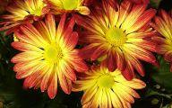 Chrysanthemum 5 Widescreen Wallpaper