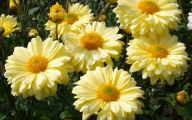 Chrysanthemum 8 Wide Wallpaper