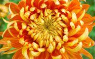 Chrysanthemum 9 Wide Wallpaper