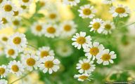 Daisy Flower 12 Free Hd Wallpaper