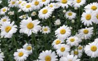 Daisy Flower 14 Desktop Wallpaper