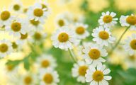 Daisy Flower 24 Widescreen Wallpaper