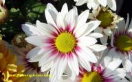 Daisy Flower 25 Widescreen Wallpaper