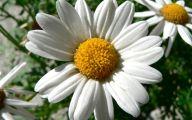 Daisy Flower 32 Cool Hd Wallpaper