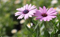 Daisy Flower 37 Free Hd Wallpaper