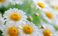Daisy Wallpaper 29 Cool Hd Wallpaper