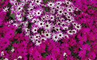 Daisy Wallpaper 31 Free Wallpaper