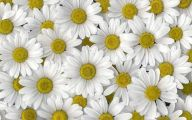 Daisy Wallpaper 36 High Resolution Wallpaper