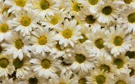 Daisy Wallpaper 4 Cool Wallpaper