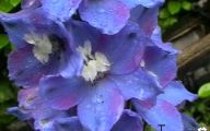 Delphinium Blue Bird 15 Desktop Background