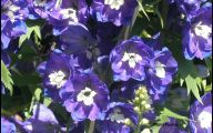 Delphinium Blue Bird 17 High Resolution Wallpaper