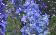 Delphinium Blue Bird 18 Desktop Background