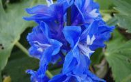 Delphinium Blue Bird 31 Desktop Background