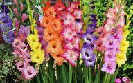 Gladiolus 11 Cool Wallpaper