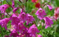 Gladiolus 33 Free Wallpaper