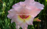 Gladiolus 9 Free Hd Wallpaper