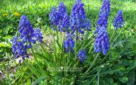 Grape Hyacinth 11 Cool Hd Wallpaper