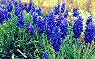 Grape Hyacinth 30 Hd Wallpaper