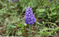 Grape Hyacinth 37 Free Wallpaper