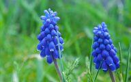 Grape Hyacinth 4 Free Wallpaper