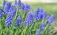 Grape Hyacinth 6 Widescreen Wallpaper