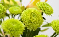 Green Chrysanthemum 2 Wide Wallpaper