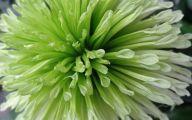 Green Chrysanthemum 23 Desktop Wallpaper