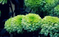 Green Chrysanthemum 29 Background Wallpaper