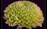 Green Chrysanthemum 31 High Resolution Wallpaper
