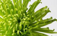 Green Chrysanthemum 4 Cool Wallpaper