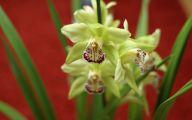 Green Cymbidium Orchid 17 Desktop Background