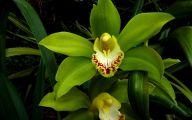 Green Cymbidium Orchid 22 Wide Wallpaper