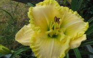 Green Daylily 41 High Resolution Wallpaper