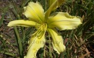 Green Daylily 42 Cool Wallpaper