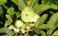 Green Hellebore 16 Cool Hd Wallpaper
