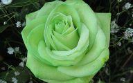 Green Rose  28 Desktop Background