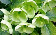 Hellebore Flowers 1 Widescreen Wallpaper