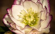 Hellebore Flowers 16 Cool Wallpaper