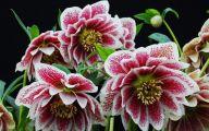 Hellebore Flowers 30 Free Wallpaper