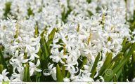 Hyacinth White Flower 17 Widescreen Wallpaper