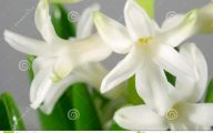 Hyacinth White Flower 28 Wide Wallpaper