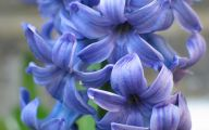 Hyacinth White Flower 3 Free Wallpaper