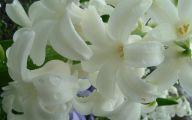 Hyacinth White Flower 32 Desktop Background