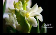 Hyacinth White Flower 35 Cool Hd Wallpaper