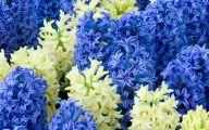 Hyacinth White Flower 4 Cool Wallpaper