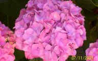 Hydrangea 22 Widescreen Wallpaper